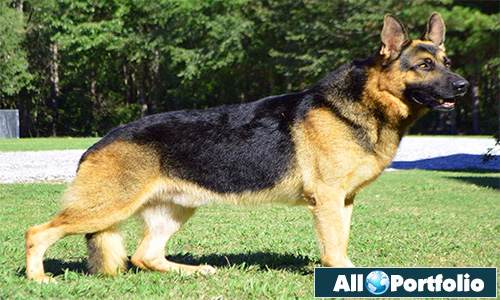 2177176de7 German Shepherd Dog All Portfolio February 18